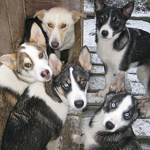 Fran and her boys_#alaskanhuskies
