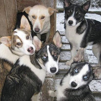 5 alaskan husky puppies and thei mother
