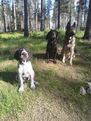 our house dogs: Lilly the German Shepherd / Siberian Husky, Angus the Labrador and Pippa the wirehaired poiner