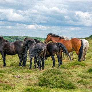 Wild Ponies on Roydon Common, King's Lynn, Norfolk UK