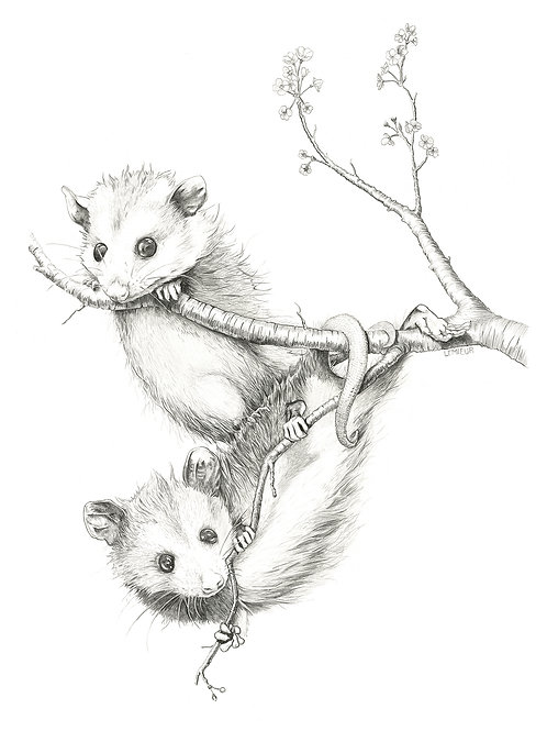 Opossums At Play