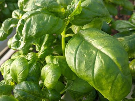 Lettuce Chat 06/27/2020, Basil