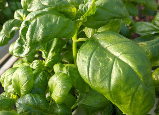 Green Italian Living Basil