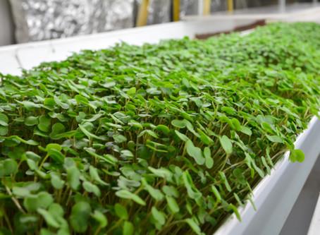 Lettuce Chat 4/13/2020.  Microgreens