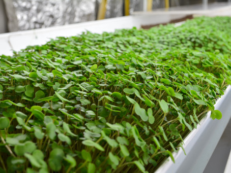 Lettuce Chat 4/13/2020.  Microgreens