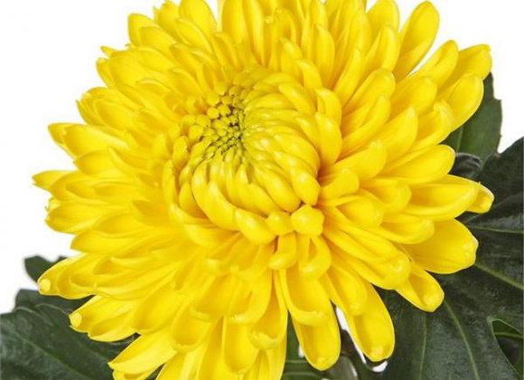 Хризантема одноголовая (шарообразная)