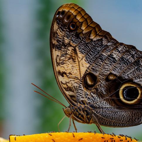 Vlinder op sinaasappelpartje