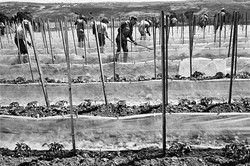 Fieldworkers Hoeing Tomato Rows, 1979