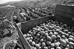 Fieldworkers Picking Tomatoes, 1979