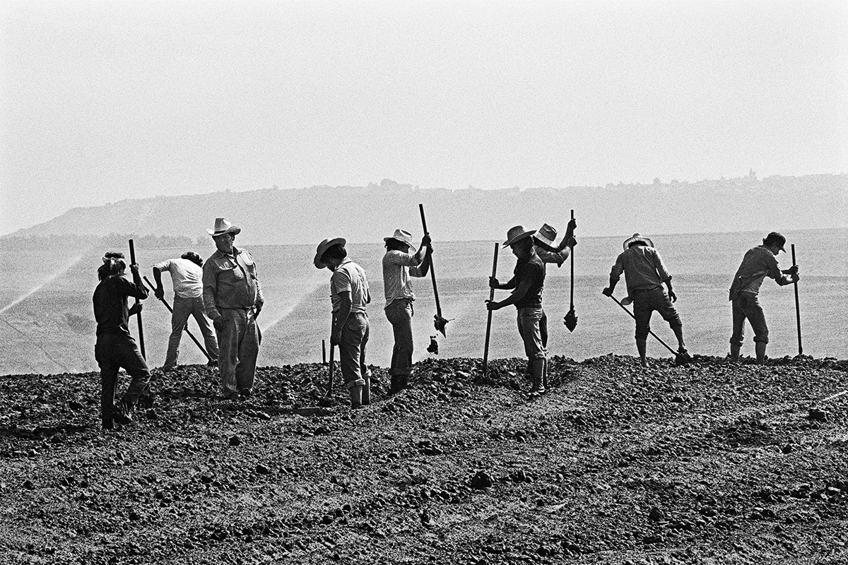Fieldworkers Punching Holes for Strawberry Plants, 1979