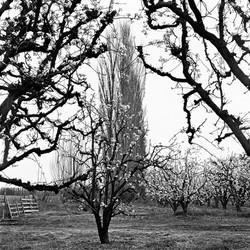 Pear Blossoms & Poplar Trees, 1969