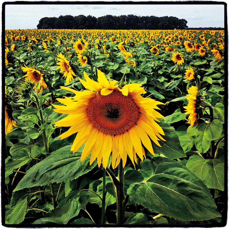 Sunflowers #3,  Amboise, France, 2012