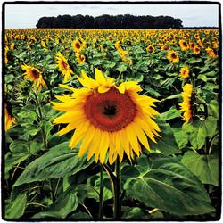 Sunflowers #3,  Amboise, France, 2012