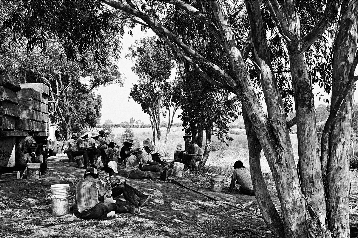 Lunch Break under Eucalyptus, 1979
