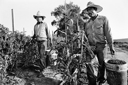 Two Fieldworkers Picking Tomatoes, 1979
