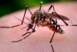 New evidence shows second dengue infection can be more severe