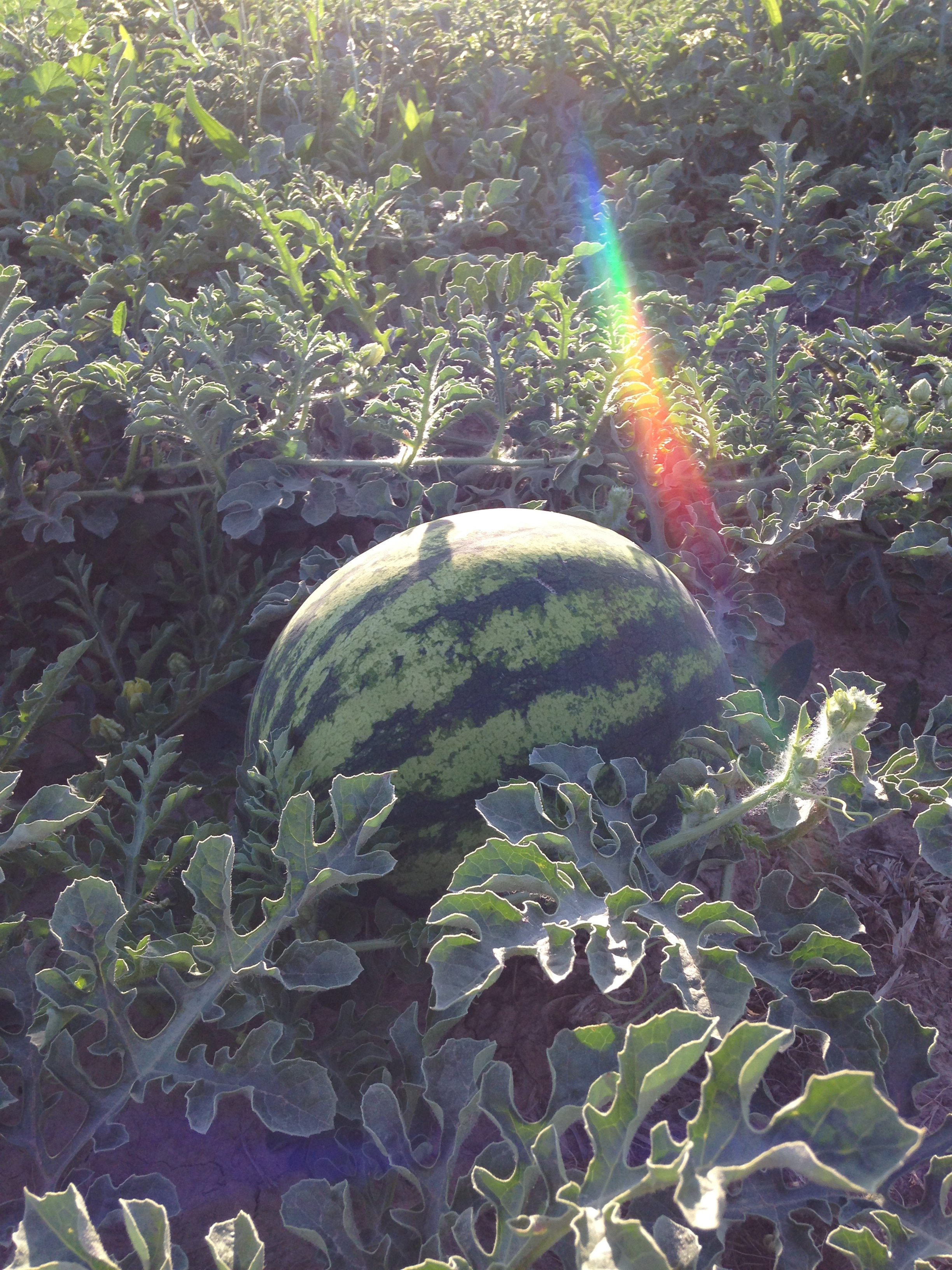 rainbow watermelon