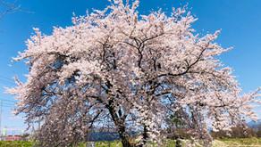 今年の桜🌸なぜ息が長かったのか??