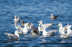 Seal Surrounded by gulls