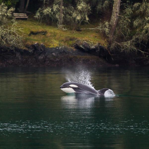 Orca Fast Juvenile.jpg