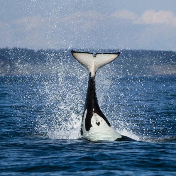 Orca Upside Down Close.jpg