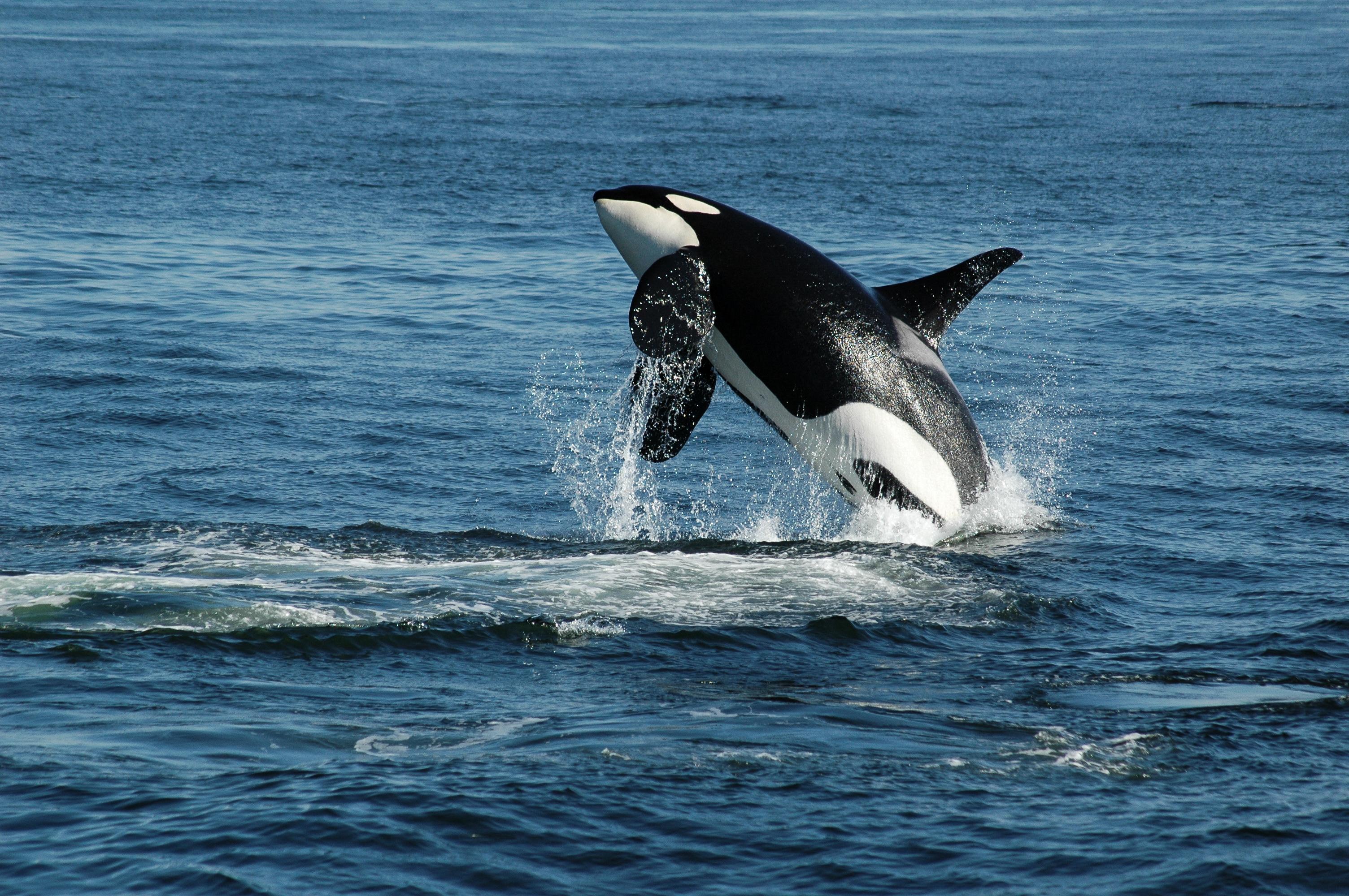 Orca Breach