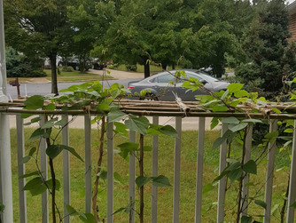 My Bean Plants and St. Augustine