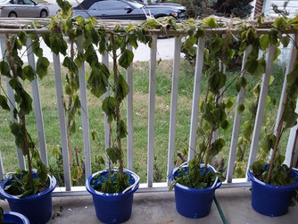 More on My Bean Plants