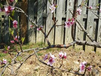 My Broken Peach Branch Has Healed
