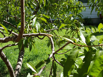 A Broken Peach Tree Branch