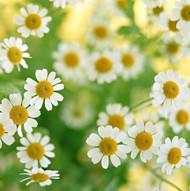 chamomile_flowers.jpg