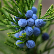 juniper berry.png