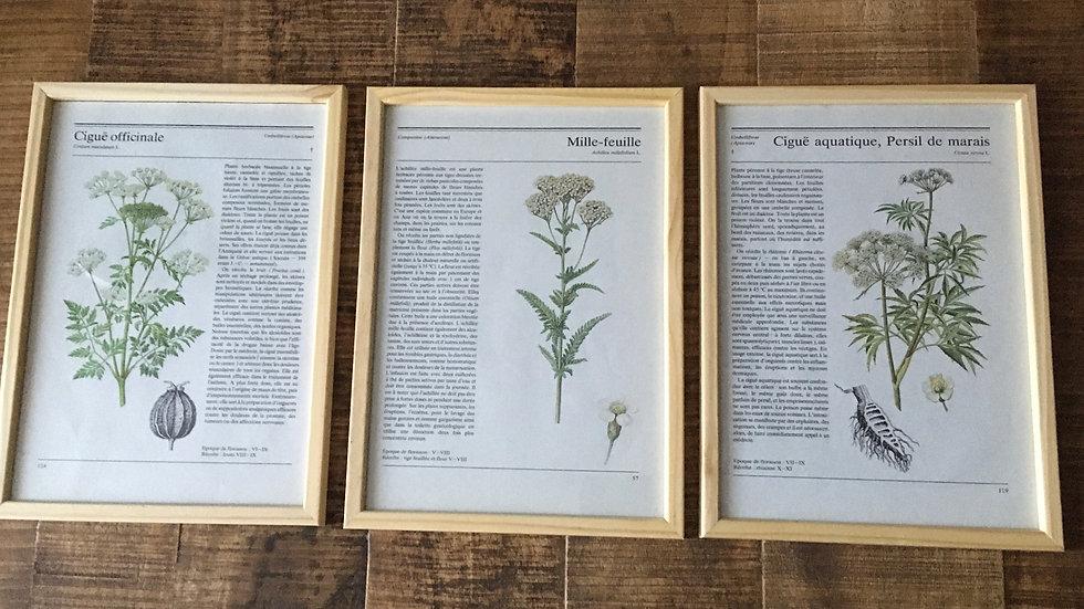 Lot 3 illustrations vintage botaniques encadrées