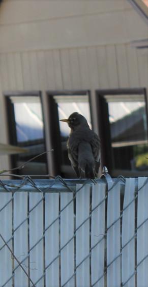 """Robin on a Fence"""