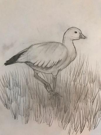 Phillip the Ross' Goose