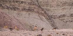 Lobos tibetanos en el Himalaya