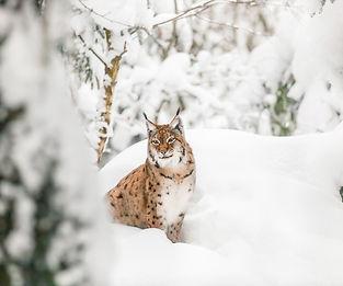 Lince Eurasian nieve.jpeg