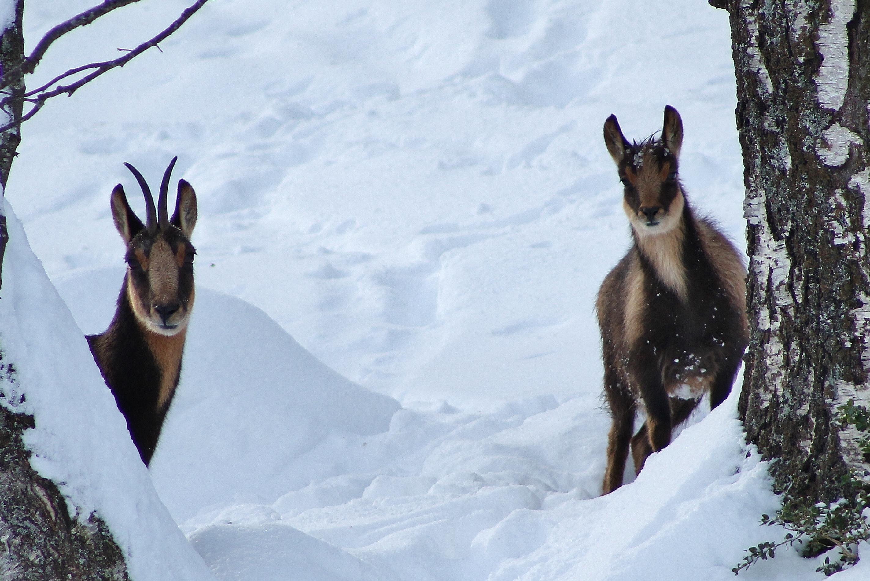 Rebecos Sarrios en la nieve