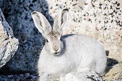 Liebre alpina con pelo blano