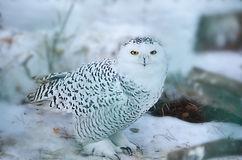 buho nival artico polar blanco