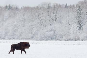Bisonte en invieno