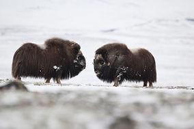Bueyes peleando en invierno