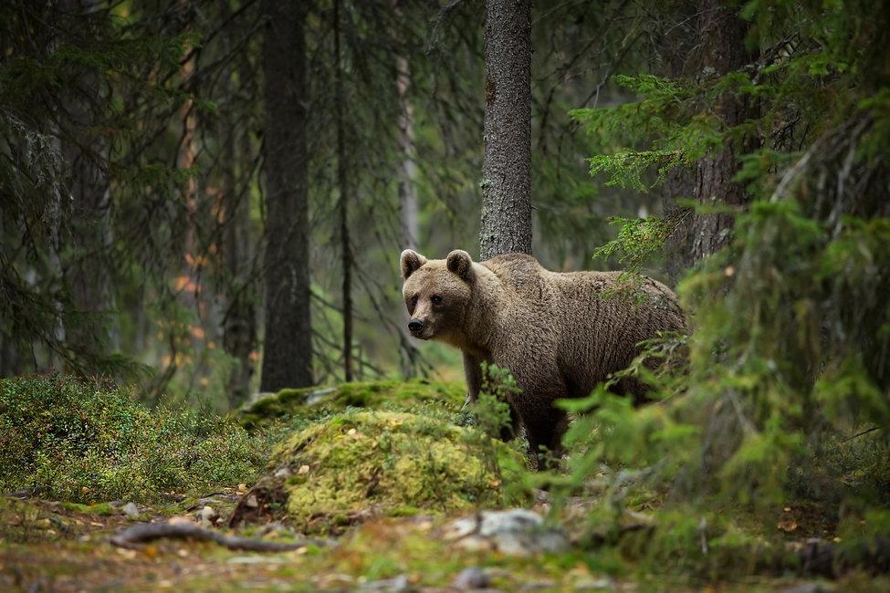 oso pardo en bosque Europeo