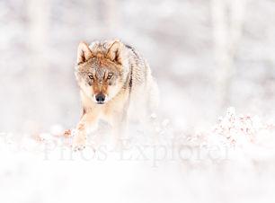 Lobo nieve mirada-2.jpg
