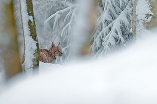 Lince bosque 2.jpg