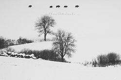 Bisontes durant el invierno Polaco
