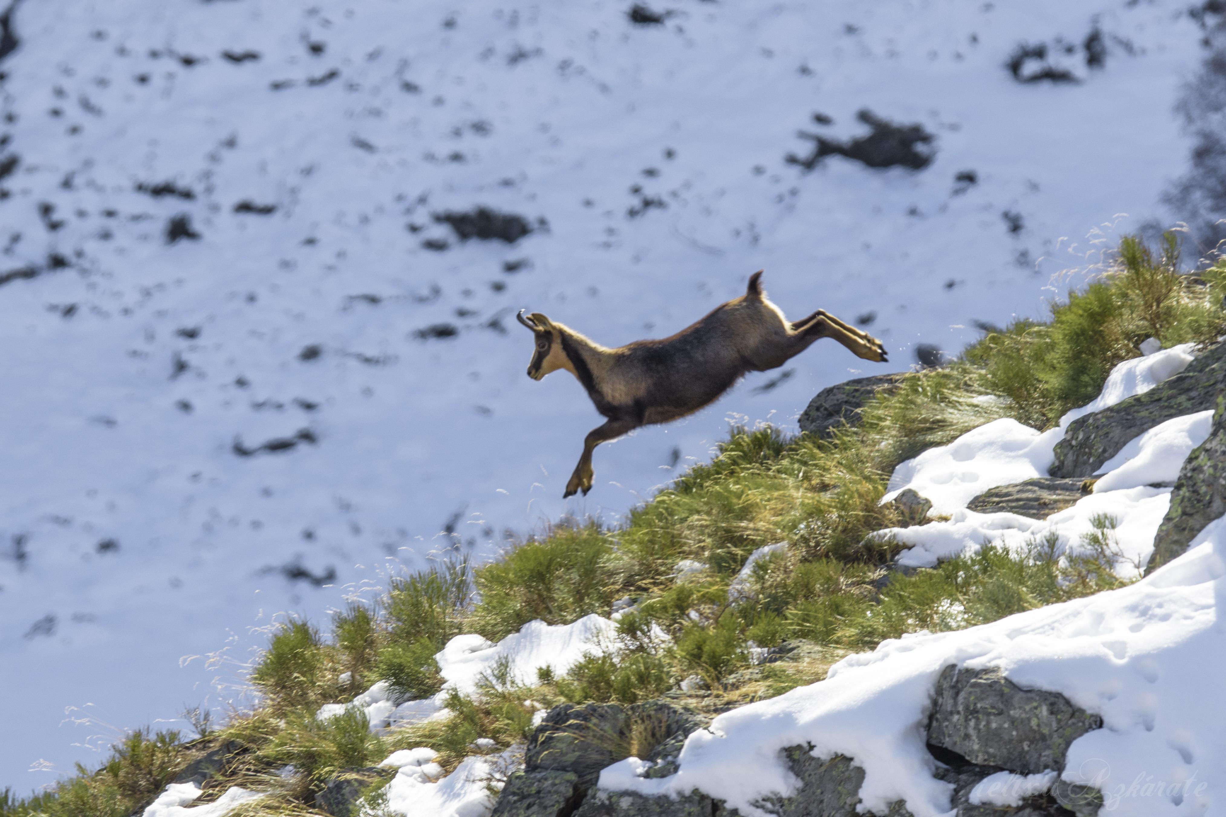 Rebeco saltando en el Pirineo