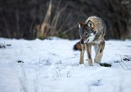 Lobo euroasiatico invieno