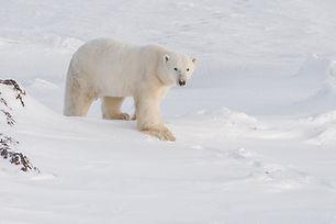 Oso polar pies grandes en nieve