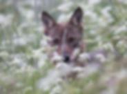 Retrato de lobo con mirada penetrante